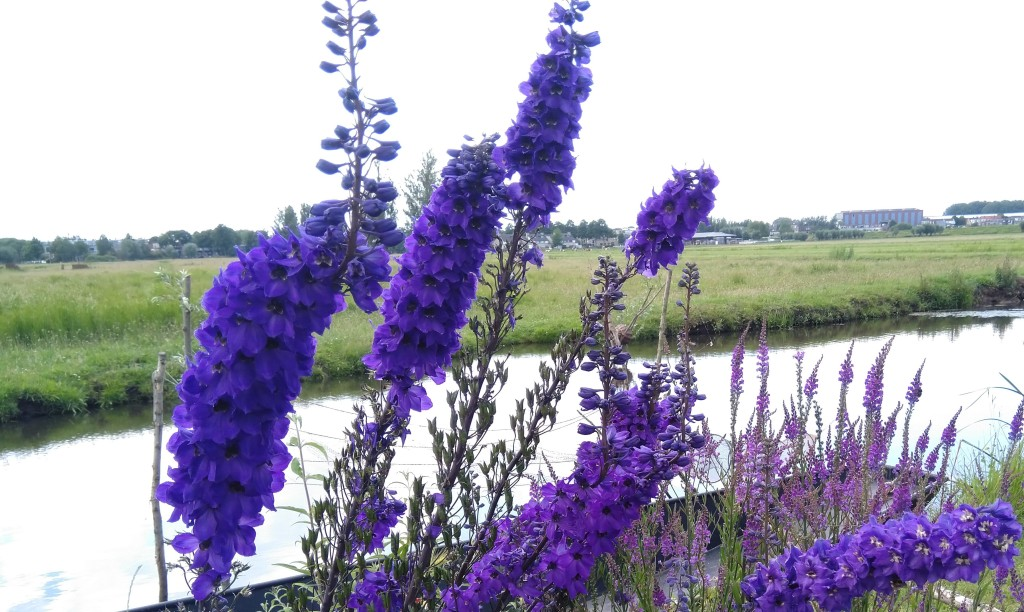Beautiful flowers sighted in UNESCO World Heritage Site of Kinderdijk, The Netherlands.. Copyright: Abirbhav Mukherjee